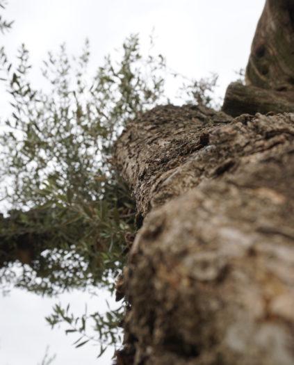 Choisir son olivier : conseils pour choisir son olivier